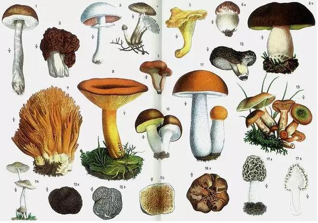 一些可以食用的蘑菇