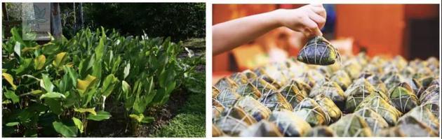圖1:柊葉(來源:中國植物圖像庫)圖2:柊葉包的糉子(來源:人民網)