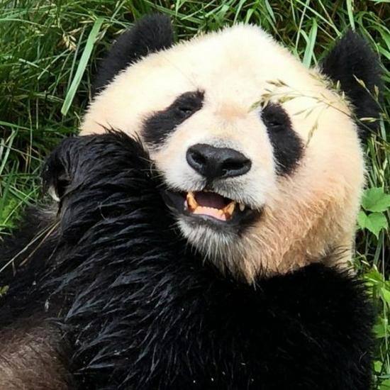 全球最新大熊猫存量数字公布:圈养673只、野外1864只