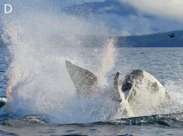 一头28岁的虎鲸母亲为了保护刚出生不久的幼崽和一对虎鲸母子展开搏斗。