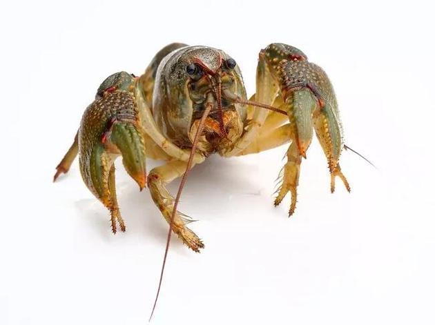 美洲螯龙虾并非配对生活