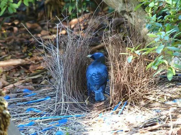 园丁鸟以筑造并装饰庭巢而闻名