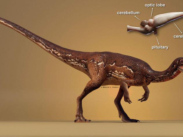 最新研究表明,Buriolestes schultzi是一种体型接近狐狸大小的恐龙物种,它们生活在2.3亿年前,它们拥有豌豆大小的大脑结构。