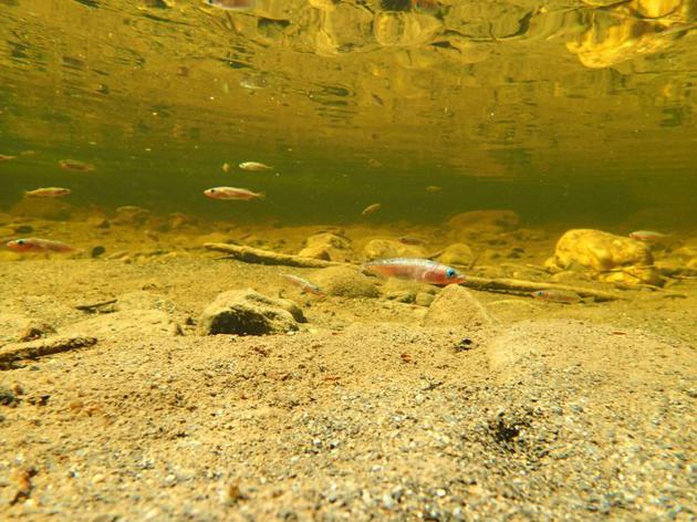 动物如何在气候变化中生存下来?三刺鱼或许能给出答案