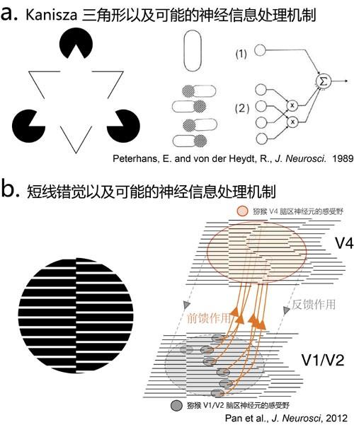 图7 两个著名的错觉轮廓。a图中能够看到一个比背景亮度更亮的白色三角形。b图中能够看到一根竖直的细线轮廓。人们已经发?#33267;?#28789;长类的视觉皮层存在编码对两种错觉轮廓有反应的神经元。(王伟组 绘制)