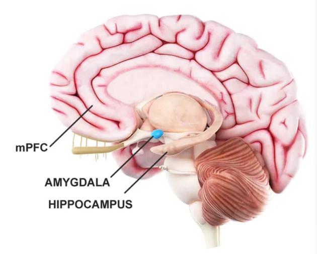 """大脑前额叶皮层、杏仁体和海马体区域产生""""情感体验回忆""""。"""