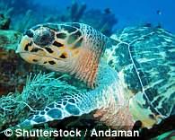 研究人员对3种海龟物种进行了研究——绿海龟(Chelonia mydas)、玳瑁(Eretmochelys imbricata)和红海龟(Caretta caretta)。通过在网络上寻找海龟照片,发现它们脚蹼的特殊功能。