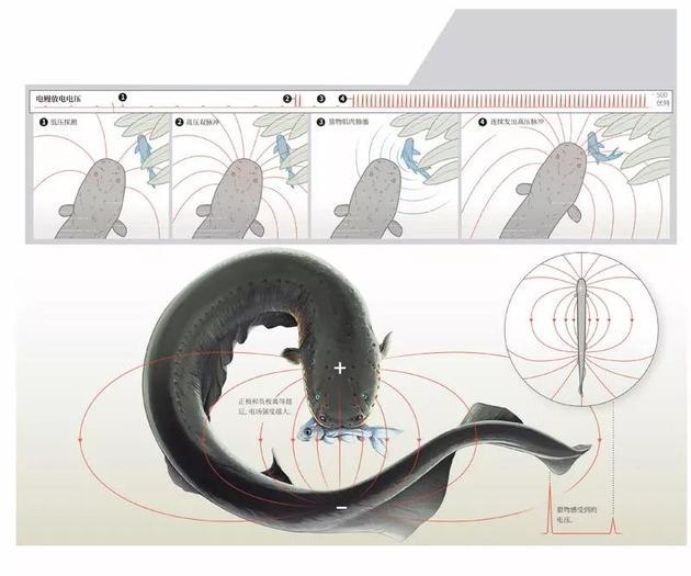 电鳗的攻击模式