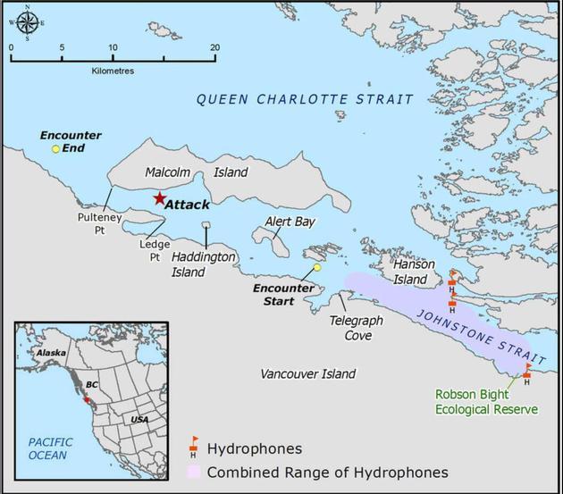 加拿大西部温哥华岛附近海域出现了一场激烈的虎鲸追逐,研究人员对其进行了长达5个小时的追踪观察。