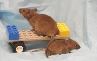 一只侏儒鼠和它正常体型的一母同胞。侏儒鼠的寿命比普通的小鼠长40%,它们缺乏生长激素,而生长激素能促进身体分泌另一种与生长发育相关的激素——胰岛素样生长因子1(IGF-1)。