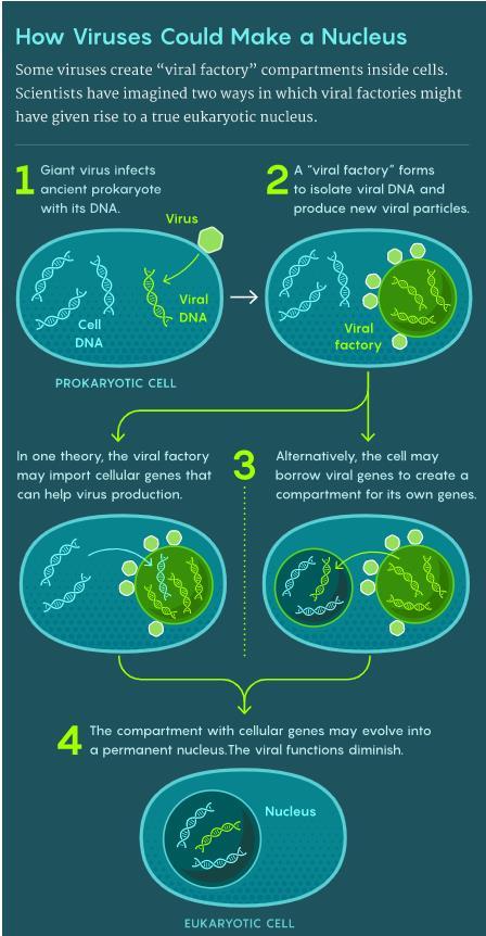 """病毒如何形成细胞核?(1)巨型病毒感染古代原核生物细胞,其DNA进入细胞内部;(2)一个""""病毒工厂""""形成,将病毒DNA隔离起来,并制造新的病毒颗粒;(3)一个理论认为,""""病毒工厂""""可能引入了细胞基因,有助于病毒增殖;另一个理论认为,细胞可能借用了病毒基因来形成一个区室,将自身基因分隔起来;(4)包含细胞基因的区室可能演化成一个永久性的细胞核,病毒的功能逐渐消失"""