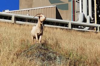 硅谷街头狂奔的羊是什么来头?谷歌都倚重的消防卫士