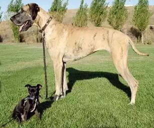 大丹犬的平均寿命为8到10年