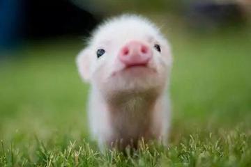 2019,互联网应从养猪到爱猪