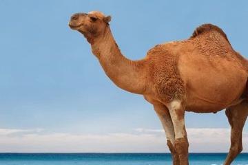 硅谷需要骆驼