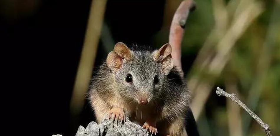 等待一生只为交配的动物:袋鼩长时间交配直至死亡