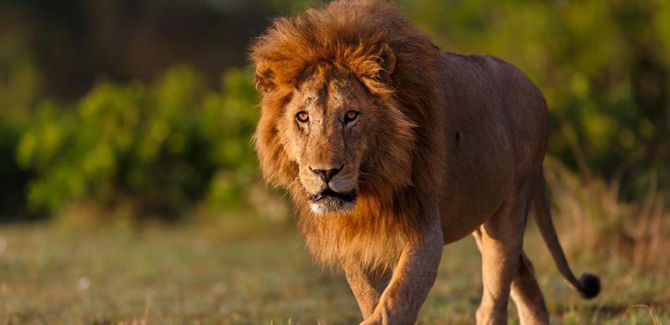 """""""狮子农场""""血腥真相!百兽之王沦为给钱就能杀的猎物"""