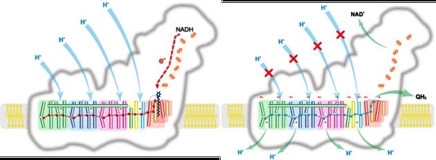 图四 复合物I机理图 左图为激发状态,右图为释放状态