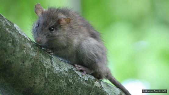 科学好故事|被驱逐出天堂的老鼠