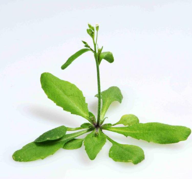 """揭示植物""""冬季低温记忆""""代际传递的母系遗传机制"""