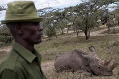 世界上最后一头雄性北方白犀牛被实施安乐死