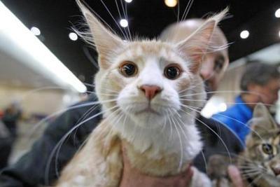日本研发猫用人造血液:没有血型差异 不会排异