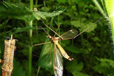 """疟疾感染创造出""""人体香味"""" 让蚊虫更爱你"""