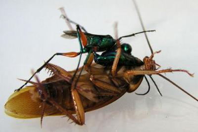 """首只无线飞行机器昆虫振翅起飞 自带""""大脑"""""""