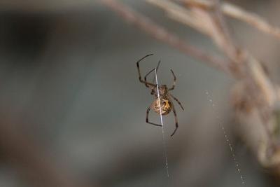 危险的结合:雄性几何寇蛛为何喜欢更年老的雌蛛?