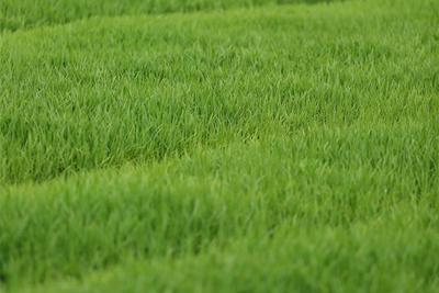 我国科学家率先发现水稻自私基因 破解杂种不育机理