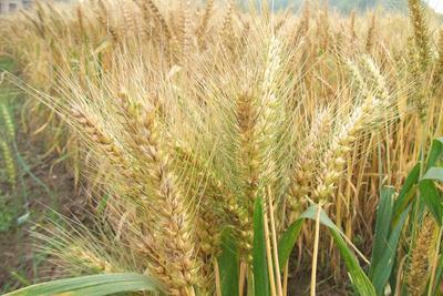 中国二系杂交小麦大规模推广应用 可增产20%以上