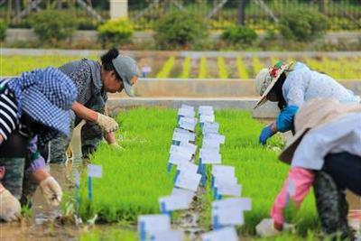 """中国首批""""海水稻""""明年诞生 预计2020年大范围种植"""