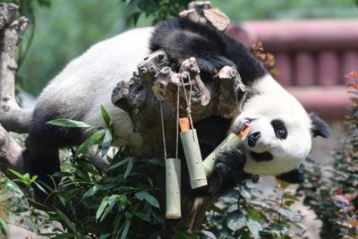 科学家给2万年前的大熊猫做线粒体基因组测序