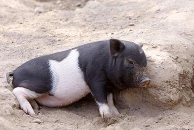 养猪也讲智能化 人工智能养猪的优势真不少