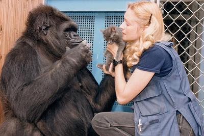 最受人喜爱的大猩猩可可离世:能用手语与人交流