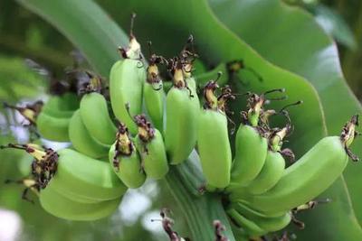 """史上最难培育的水果之一,香蕉曾是""""替补""""品种"""