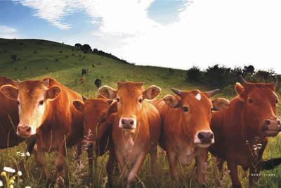 中国黄牛到底从哪里来?科学家:有3个血统来源