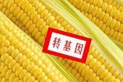 转基因玉米违规种植,深层原因到底是什么?
