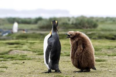 高温袭来,北极熊也许没热坏,但南极王企鹅真饿坏了