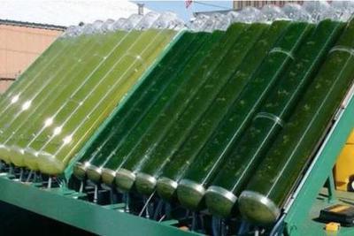 微拟球藻:吃的是二氧化碳,挤出来的是燃料