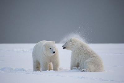 32℃的北极?北极熊在灭绝?是炒作还是事实?