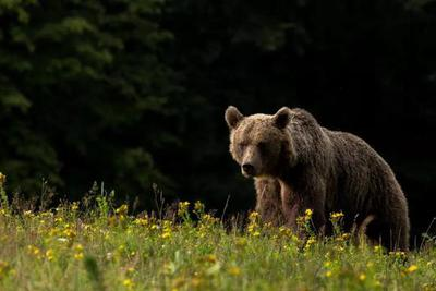 棕熊体内发现冰河时代已灭绝的洞熊基因