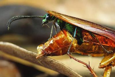 杀死过这么多只蟑螂,却从未见过蟑螂如此恐怖的死法