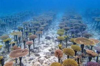 """为了修复退化严重的珊瑚礁,我们在海底""""造林"""""""