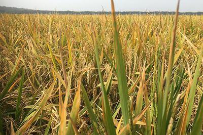 张启发谈绿色超级稻十年:共推广九千万亩 不含转基因
