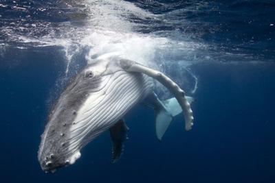 日本以科研为目的捕杀鲸鱼:每年仍会捕杀200至1200条