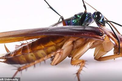 """为了不变成僵尸,蟑螂练就""""无影腿""""能将黄蜂踢飞"""