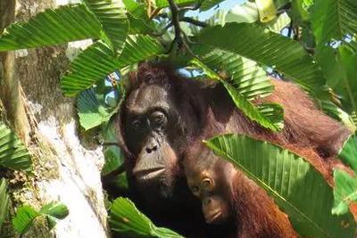 走出森林的红毛猩猩,究竟是好奇还是无奈?