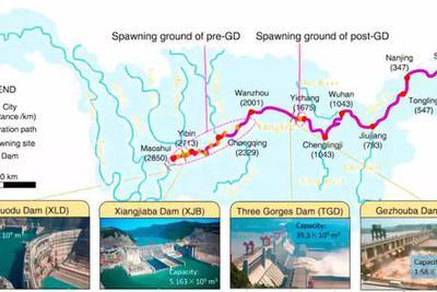 野生中华鲟十年后灭绝?详解大坝对中华鲟致命一击