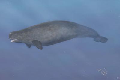 """唯一的怪兽鲸鱼:白鲸与独角鲸的第一代""""混血儿"""""""
